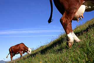 photo vache abondance de Bruno Compagnon