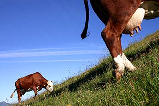 photo vache abondance de Bruno Compagnon