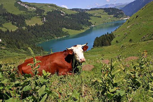 La vache Abondance