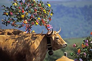 photo vache aubrac de Bruno Compagnon
