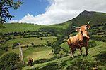 Race de vache Béarnaise