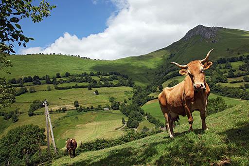 La vache Béarnaise