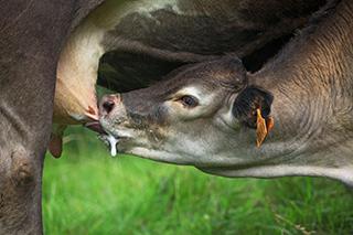 photo vache casta de Bruno Compagnon