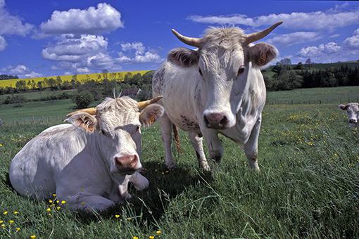 différents types de vaches