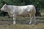 La vache Blonde d'Aquitaine