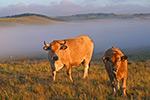 vache-aubrac