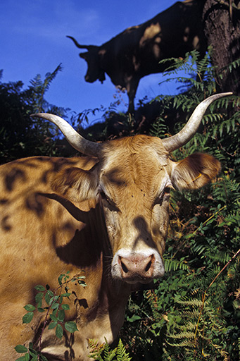 Les races de vaches à petit effectif la lourdaise
