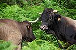 la-vache-casta