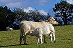 la vache charolaise